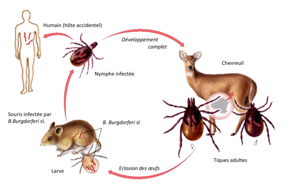 La maladie de Lyme Illustration